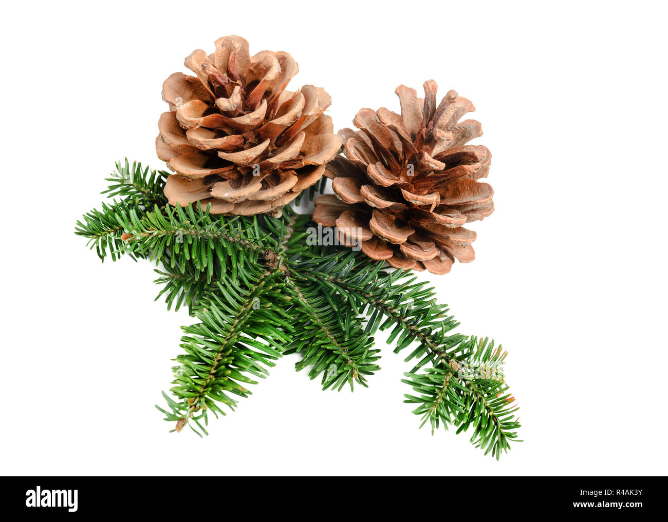 Pine tree branch with cone Christmas decoration element - Stock Image