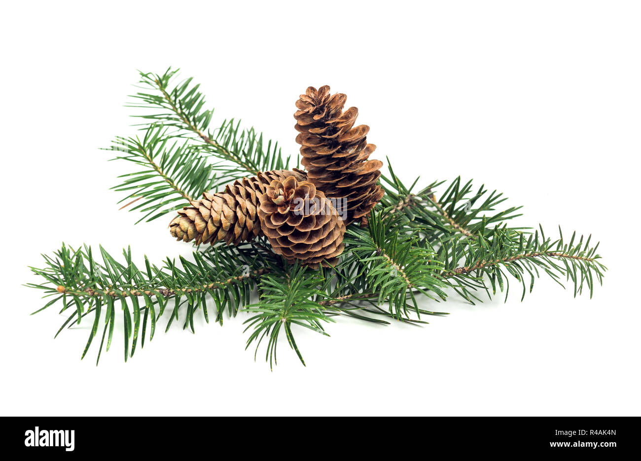 Evergreen branch of Christmas tree with cones on white background. Design element - Stock Image