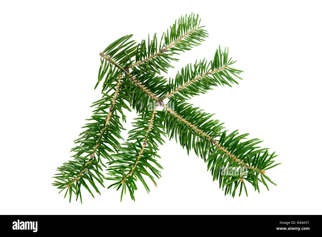 Evergreen branch of Christmas tree isolated on white background. Design element - Stock Image