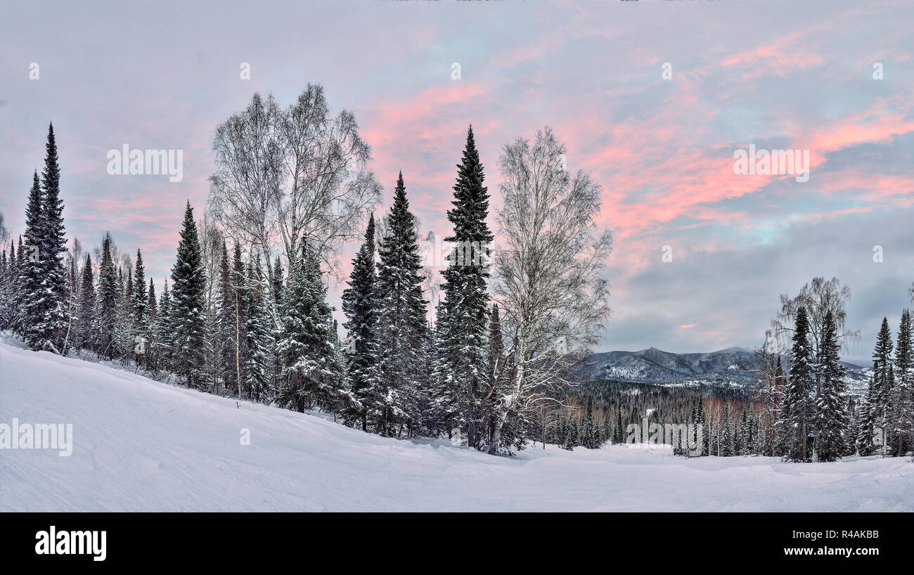 Picturesque winter mountain landscape - delicate pink sunset light over slopes of mountains with snowy coniferous forest covered. Fairy tale of winter - Stock Image