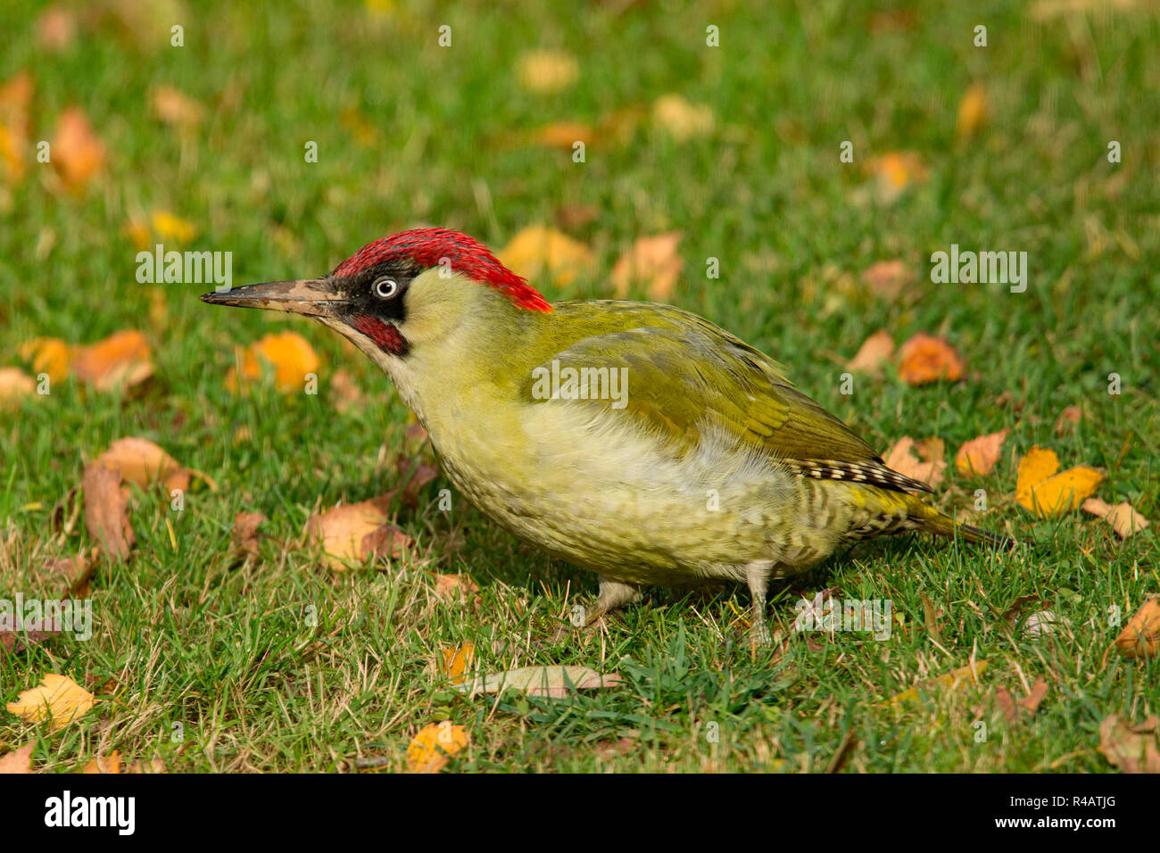 european green woodpecker, male, (Picus viridis) - Stock Image