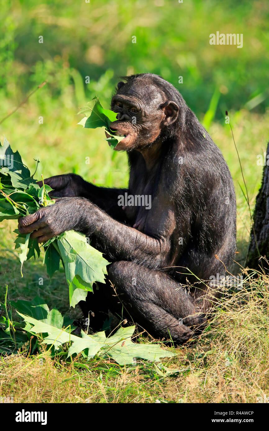 Bonobo, adult feeding, Africa, (Pan Paniscus) - Stock Image