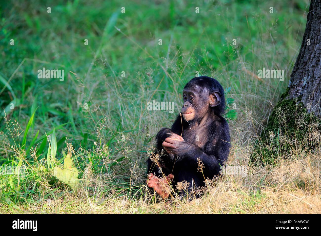 Bonobo, young feeding, Africa, (Pan Paniscus) - Stock Image