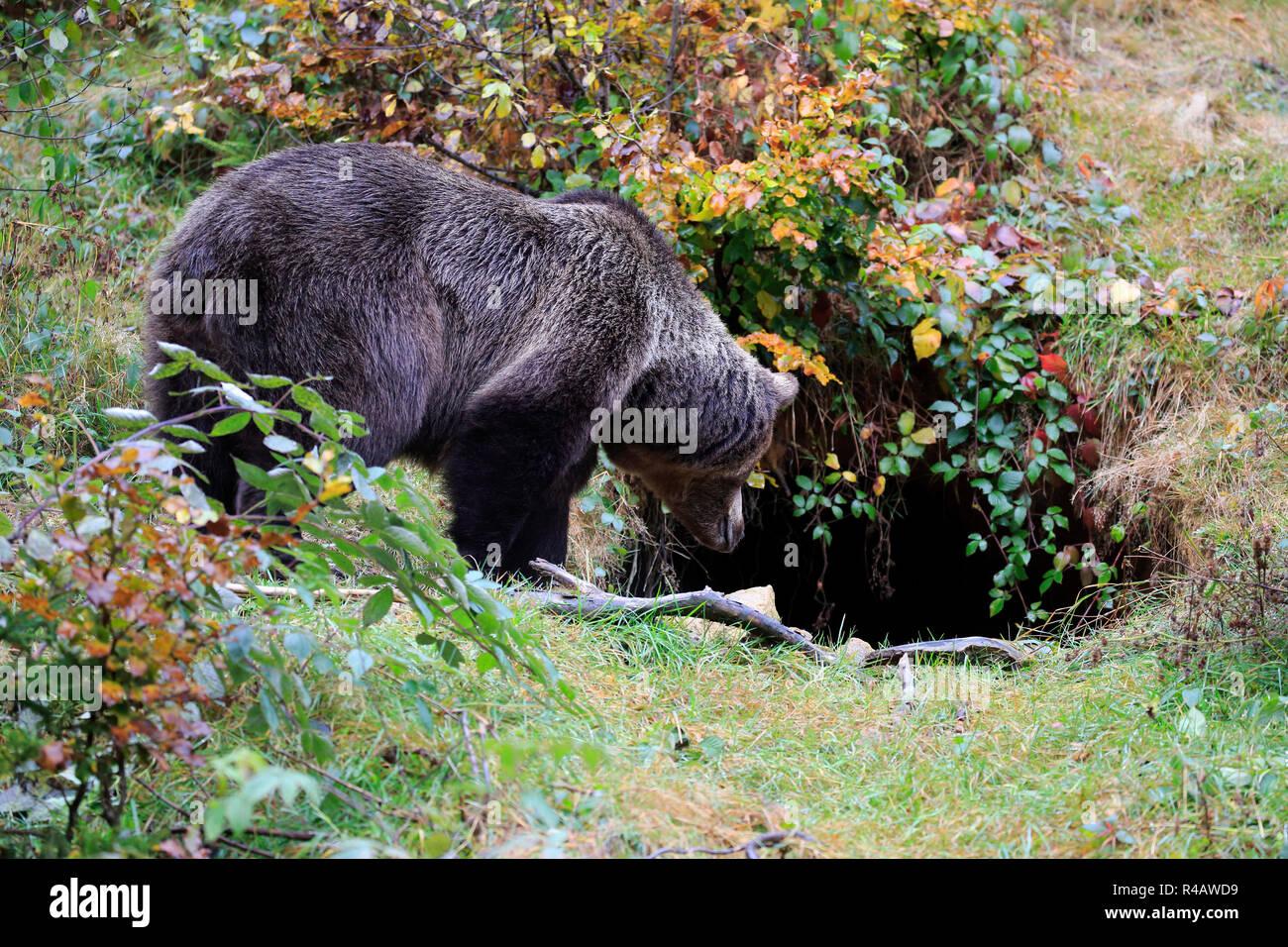 Eurasian brown bear, adult female at hibernation den in autumn, Bavarian Forest National Park, Germany, Europe, (Ursus arctos arctos) - Stock Image