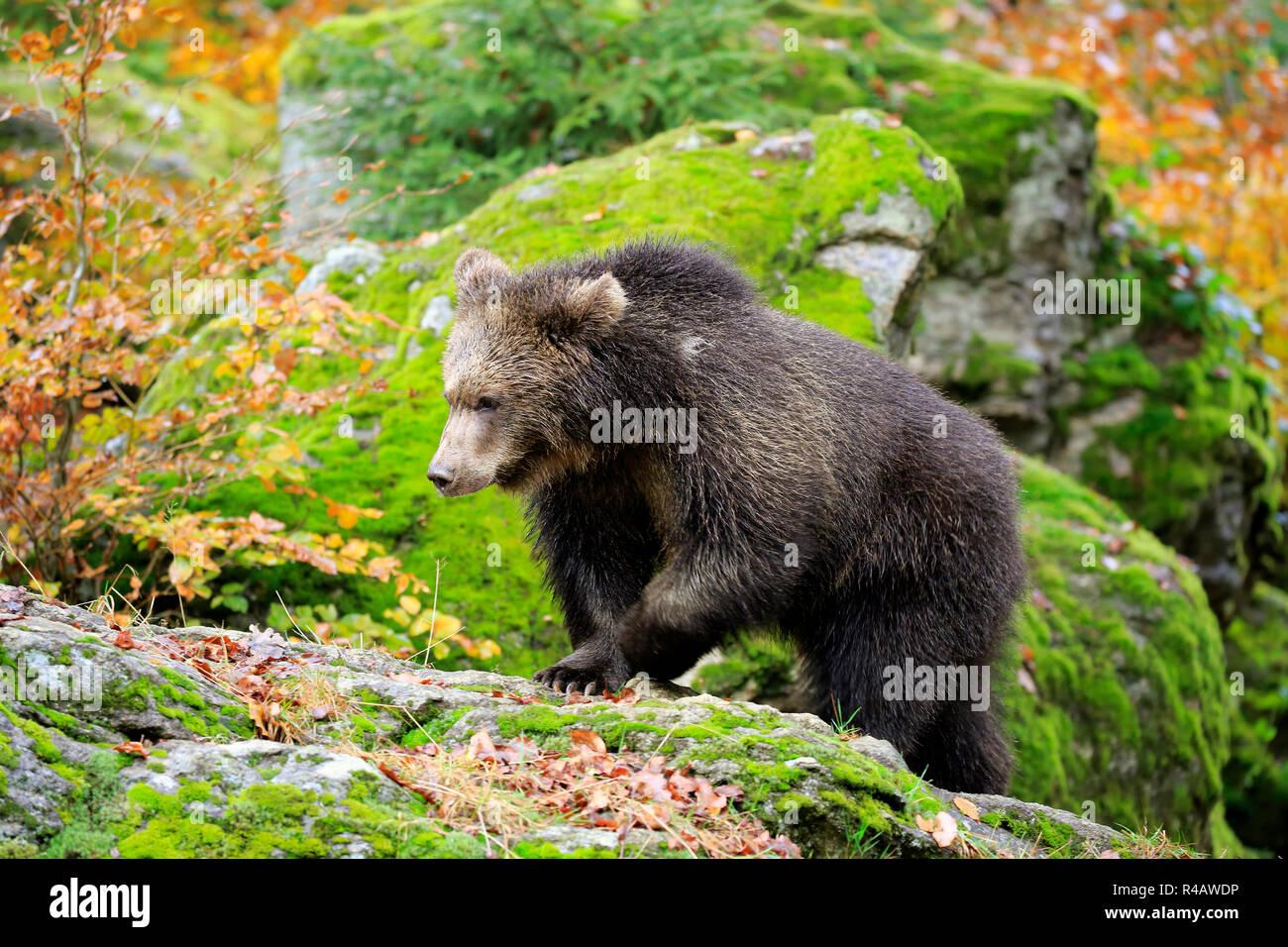 Eurasian brown bear, young in autumn, Bavarian Forest National Park, Germany, Europe, (Ursus arctos arctos) Stock Photo