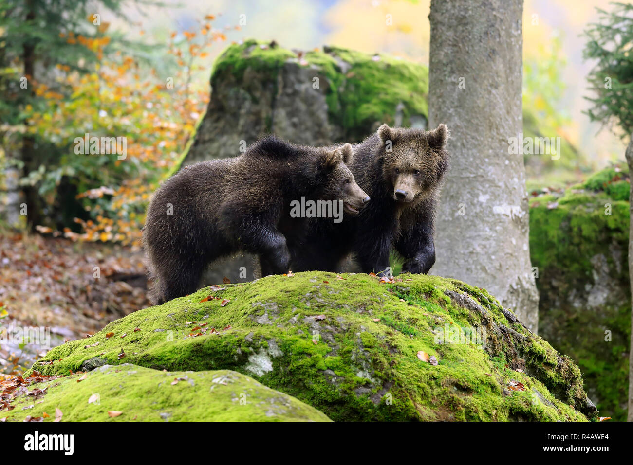 Eurasian brown bear, youngs in autumn, Bavarian Forest National Park, Germany, Europe, (Ursus arctos arctos) Stock Photo