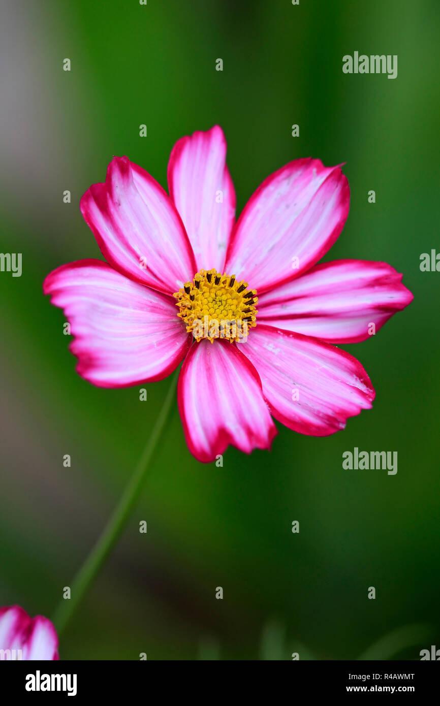 Cosmos, Germany, Europe, (Cosmos bipinnatus) - Stock Image
