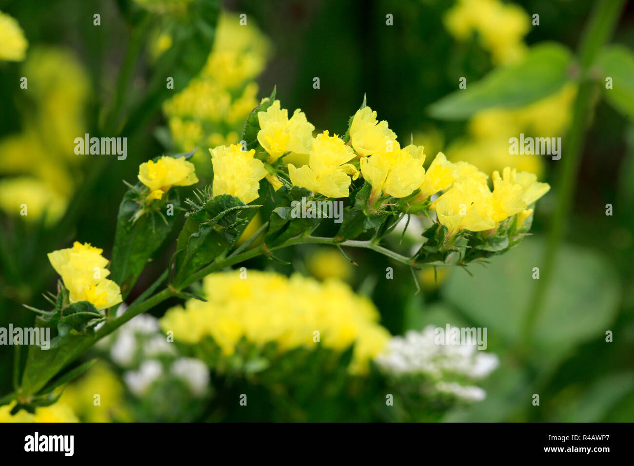 Limonium, Germany, Europe, (Limonium) - Stock Image