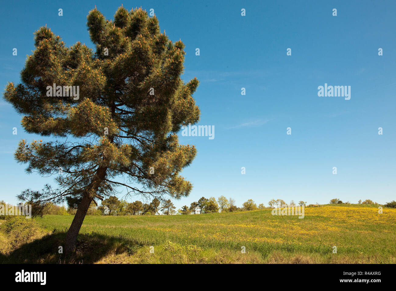 Aleppo pine, Tuscany, Italy, Europe, (Pinus halepensis) - Stock Image