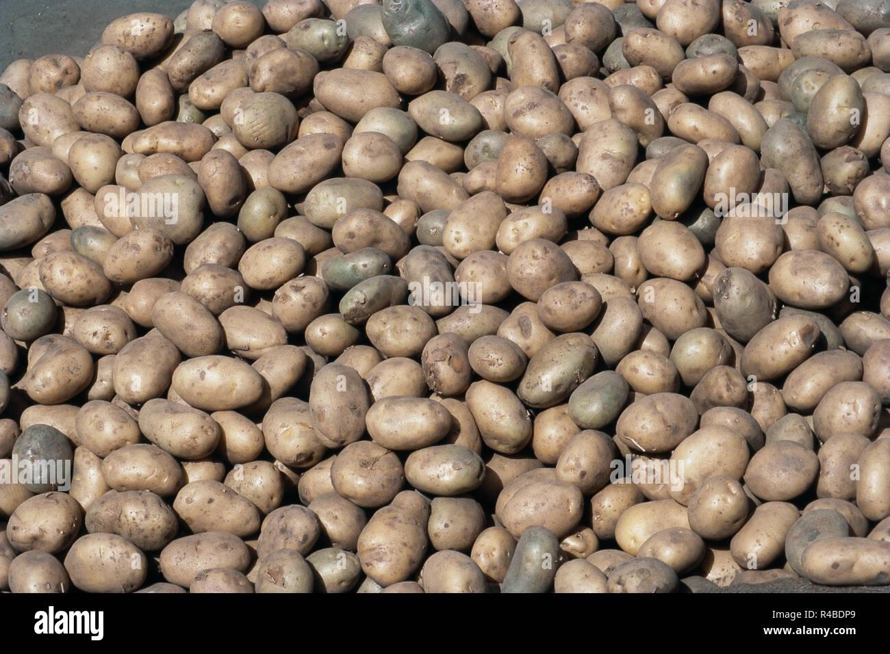 Close up view of potatoes at Manali, Himachal Pradesh, India, Asia - Stock Image