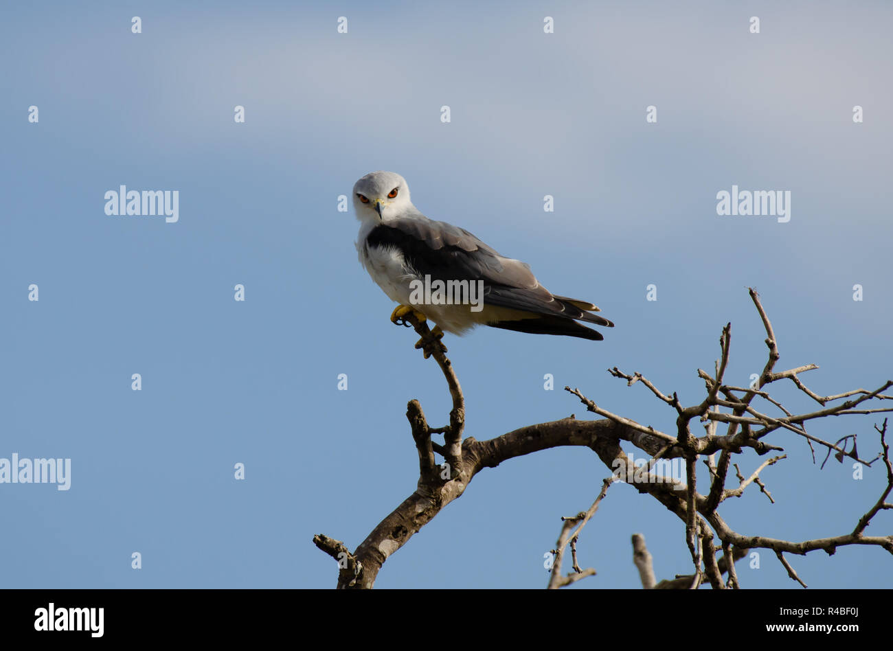 A Black-Shouldered Kite perches on a twig while looking for prey in Kruger National Park in South Africa. - Stock Image