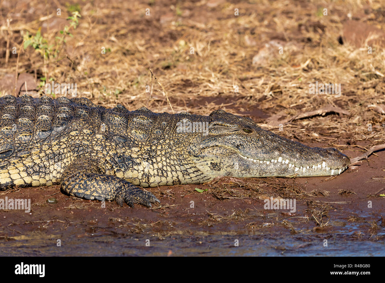 resting nile crocodile on river bank, opened mouth showing teeth in Chobe river, Botswana safari wildlife - Stock Image