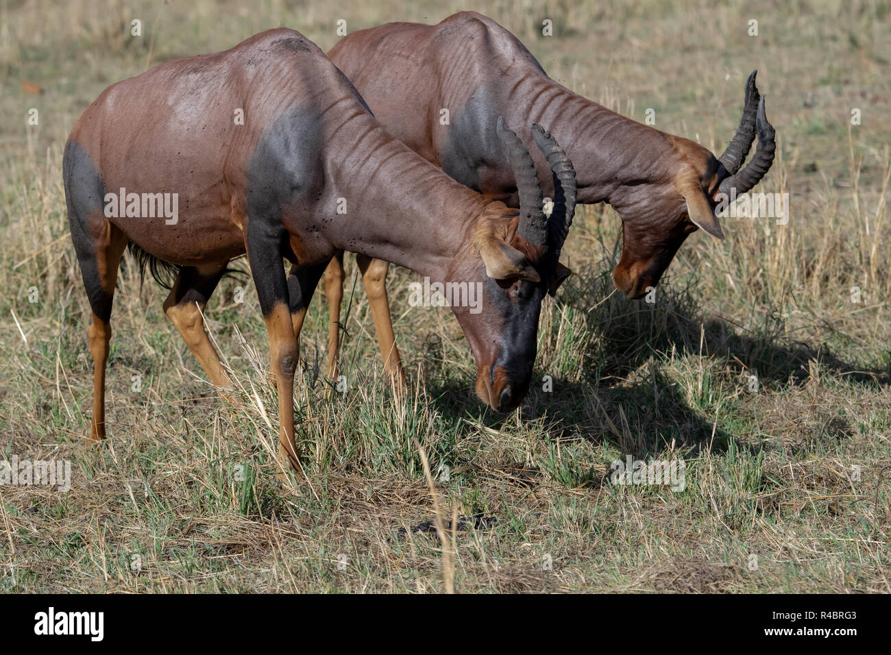 Topi (Damaliscus lunatus jimela) in Masai Mara National Reserve in Kenya. Conservation status is Vulnerable. - Stock Image