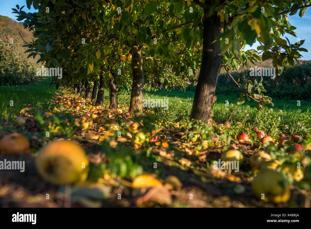 Cider apples waiting to be Harvested in Somerset - Stock Image