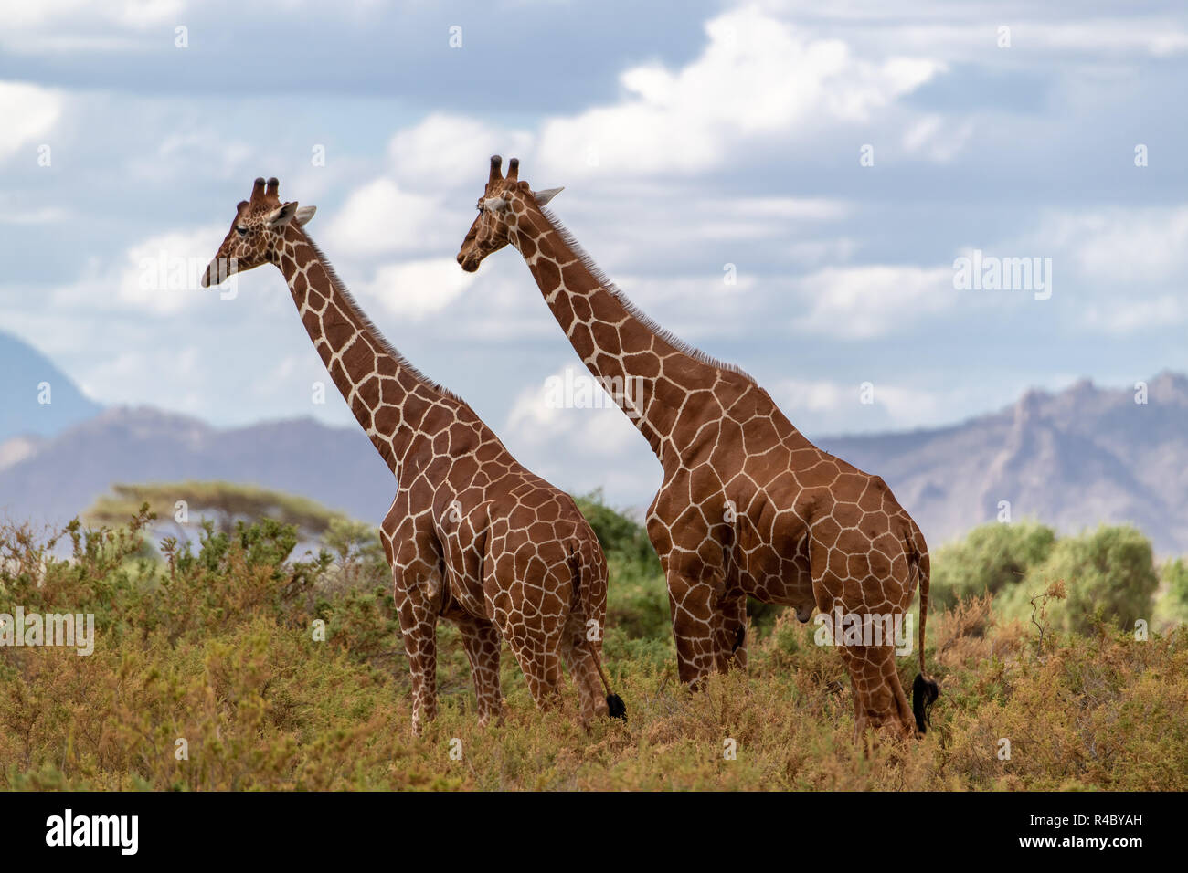 Two adult male reticulated giraffes (Giraffa camelopardalis reticulata)  in Kenya. The subspecies is labeled vulnerable. - Stock Image