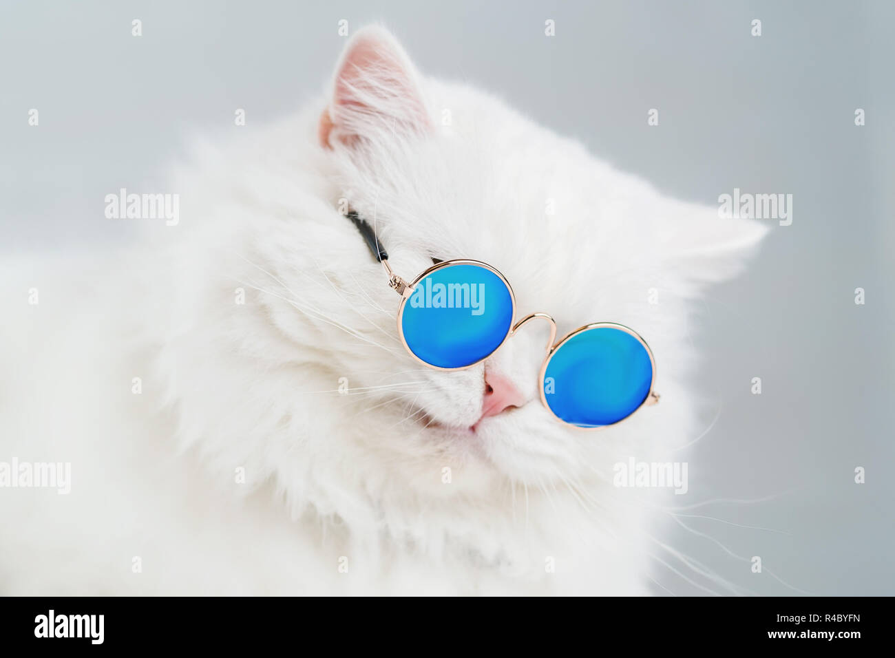 096fec2dd Luxurious domestic kitty in glasses poses on gray background wall. Portrait  of white fluffy cat
