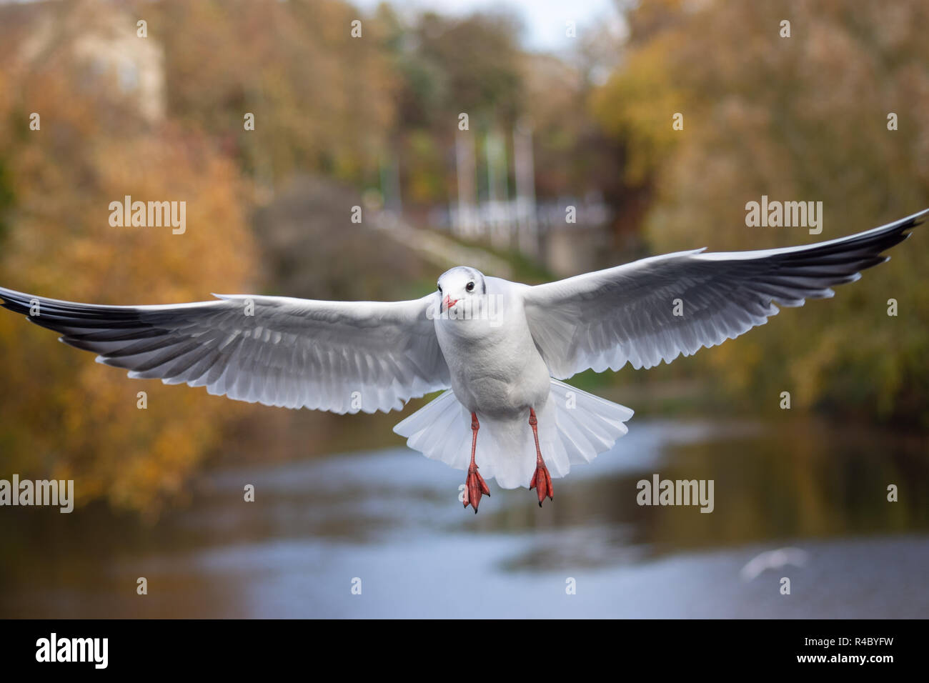Close up of a black headed gull (Chroicocephalus ridibundus) in adult winter plumage flying wings extended - Stock Image