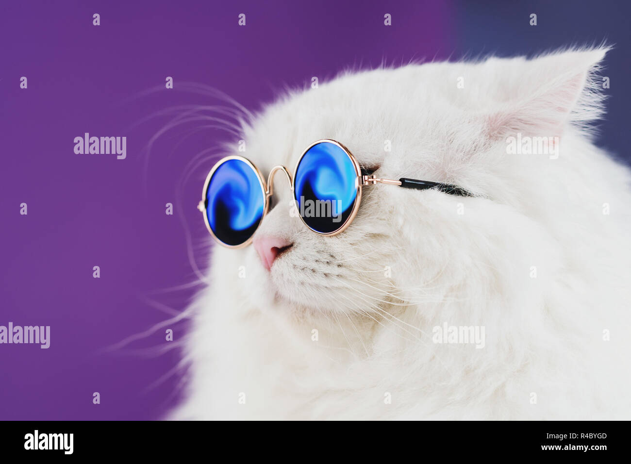 179351bbd Close portrait of white furry cat in fashion sunglasses. Studio photo.  Luxurious domestic kitty