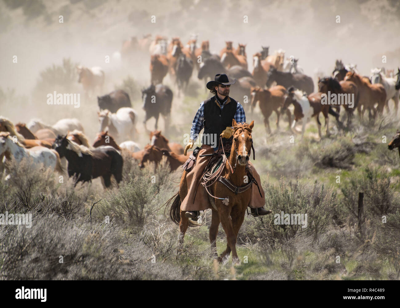 Cowboy wrangler ranch hand riding sorrel horse at a gallop rounding up herd of running horses during trail drive, Craig, CO, USA May 5, 2018 Stock Photo