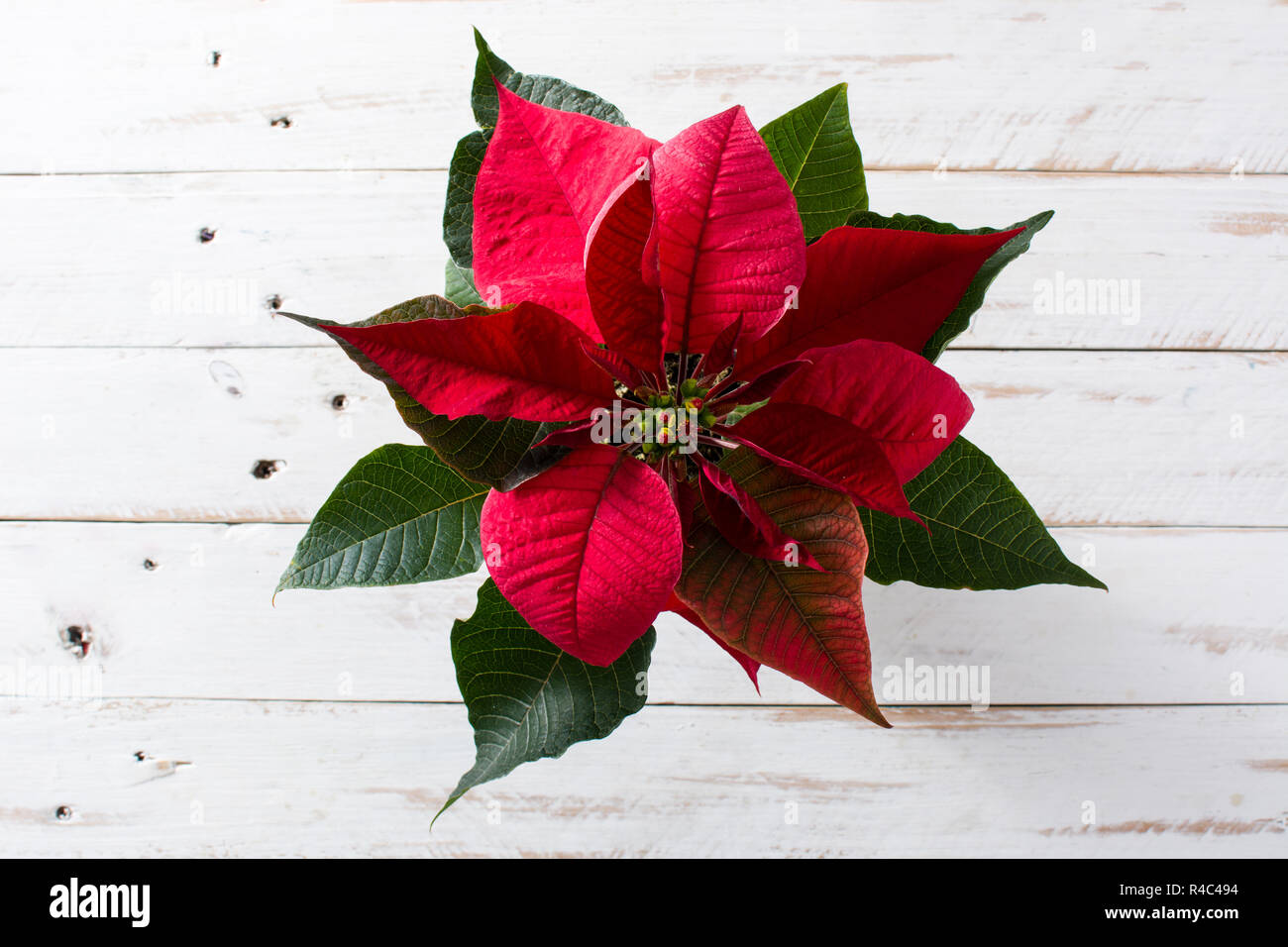 Christmas poinsettia flower on white wooden table. Top view. - Stock Image