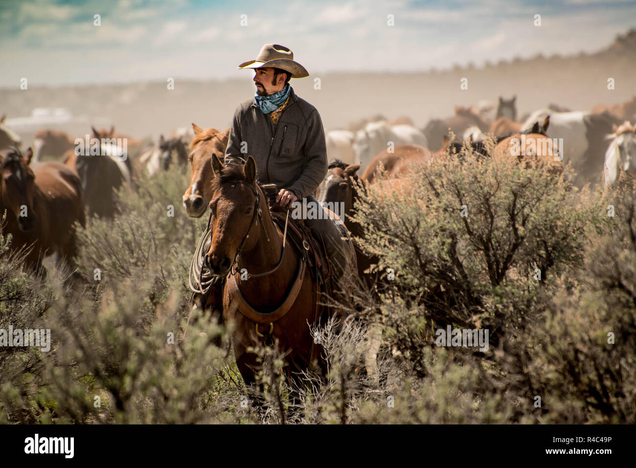 Cowboy wrangler with white hat leading horse herd through sagebrush prairie during a dusty trail drive roundup Stock Photo