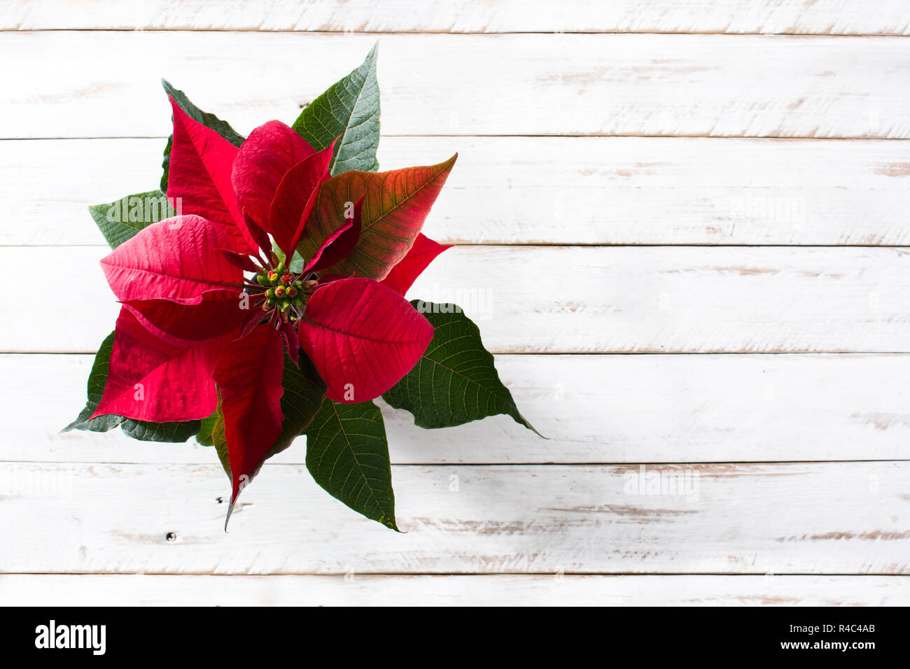 Christmas poinsettia flower on white wooden table. Top view. Copyspace - Stock Image