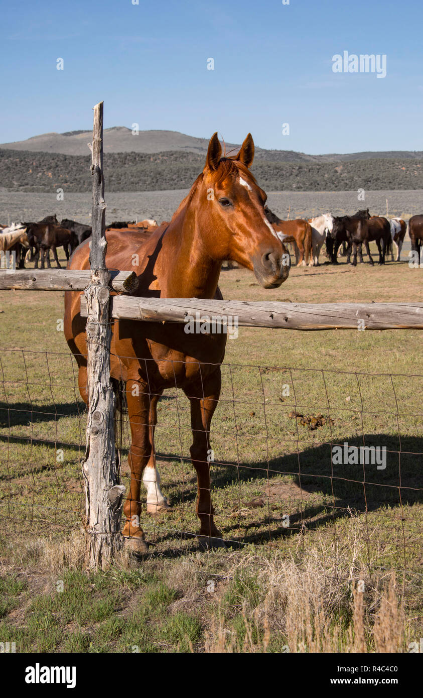 Sorrel horse and horse herd in old wooden corral on the prairie - Stock Image
