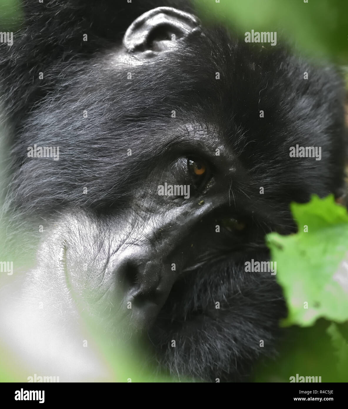 A  female mountain gorilla (Gorilla beringei beringei) relaxes after a morning feeding on forest vegetation. About 1,000 mountain remain in Uganda, Rw - Stock Image