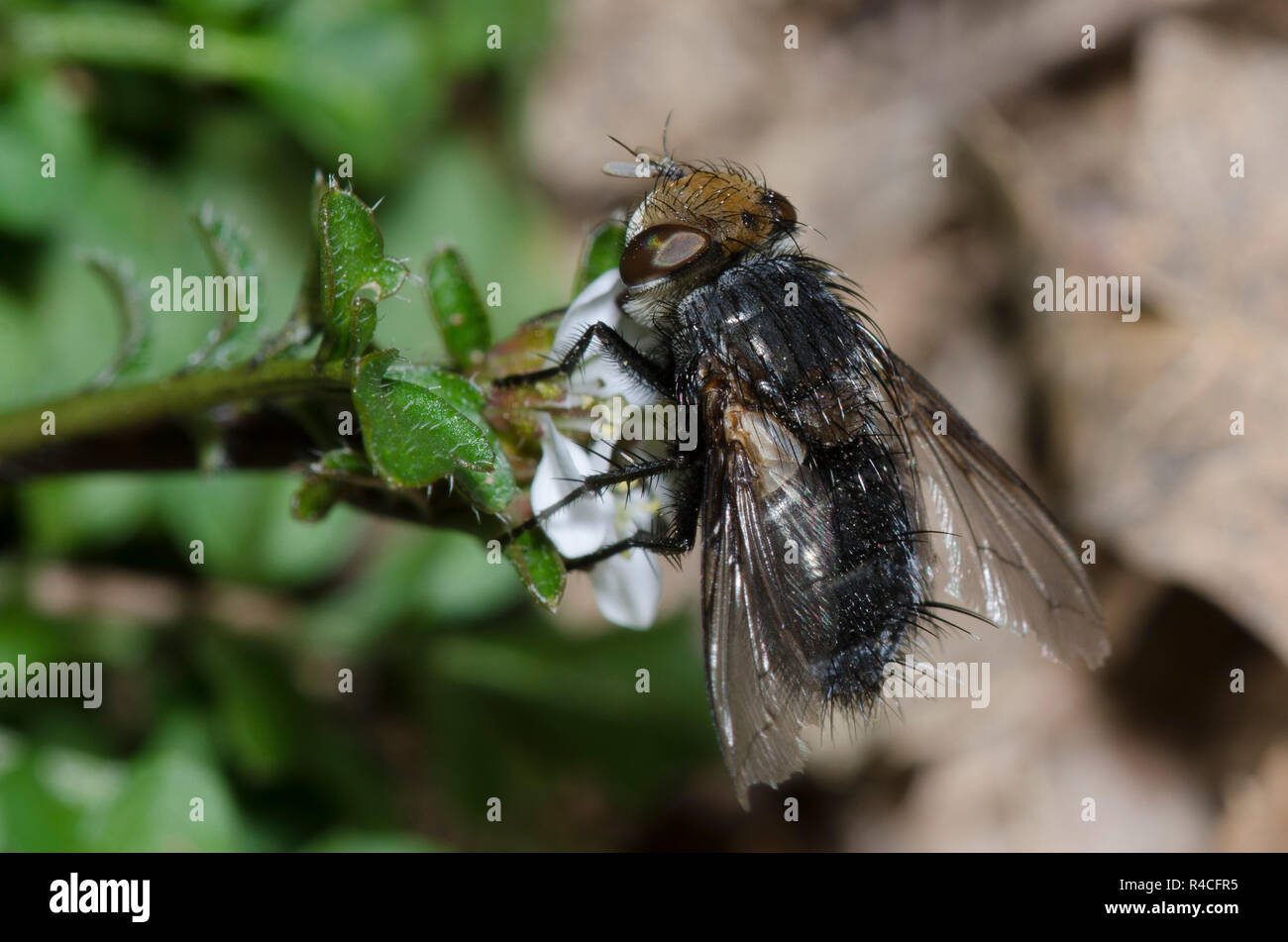 Tachinid Fly, Gonia sp., foraging Stock Photo