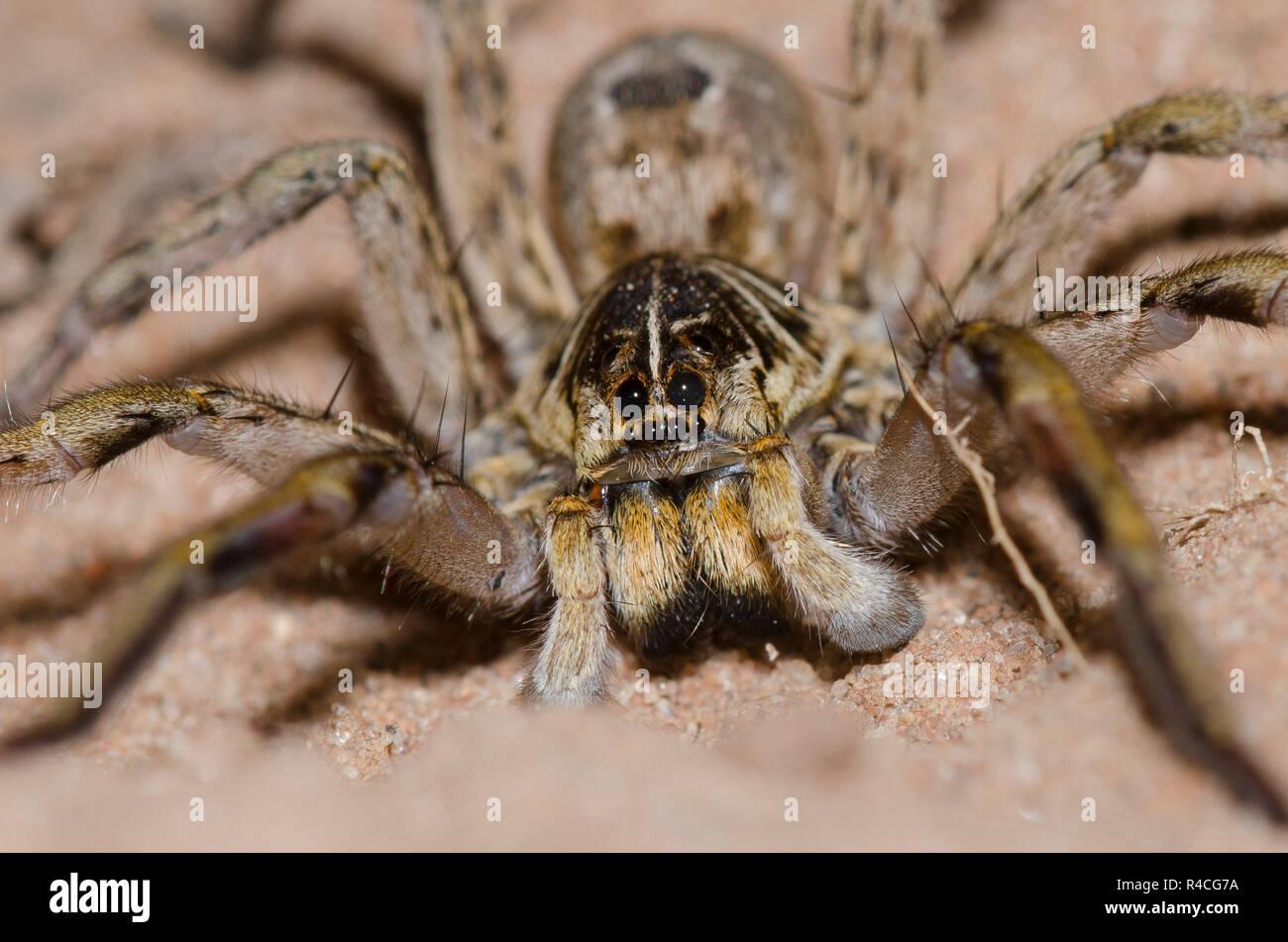 Wolf Spider, Hogna baltimoriana, male - Stock Image