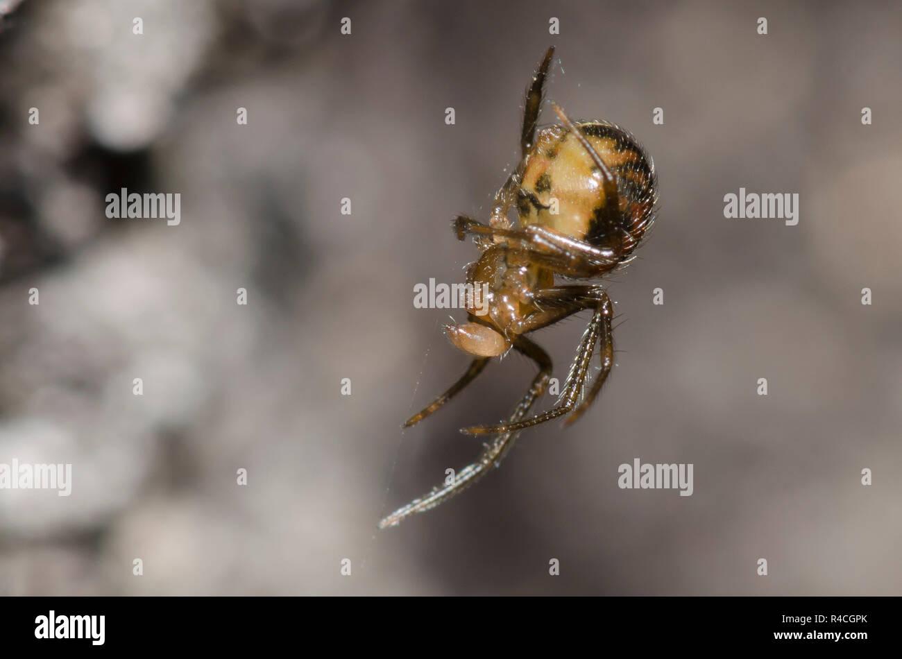 Cobweb Spider, Family Theridiidae, male - Stock Image