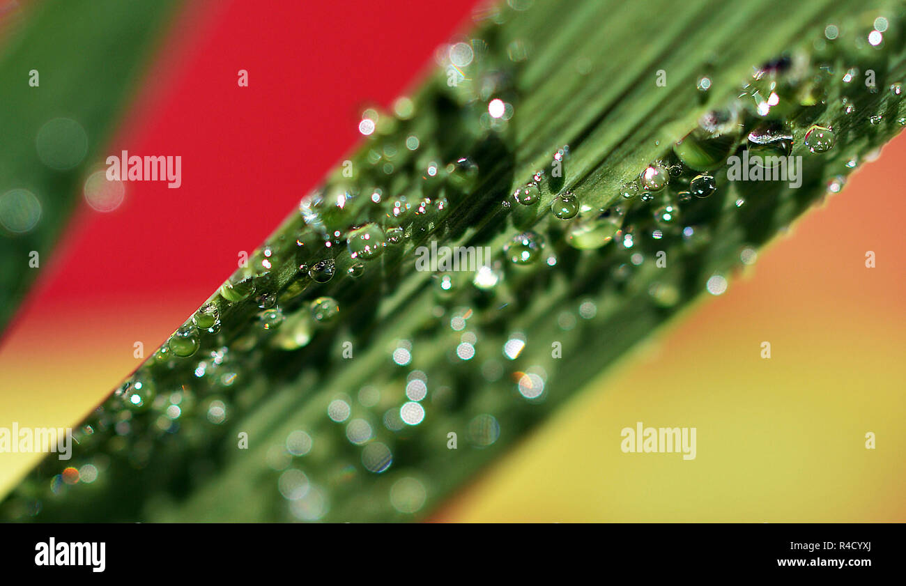 Water Beads On Plant Leaf Stock Photo 226478746 Alamy