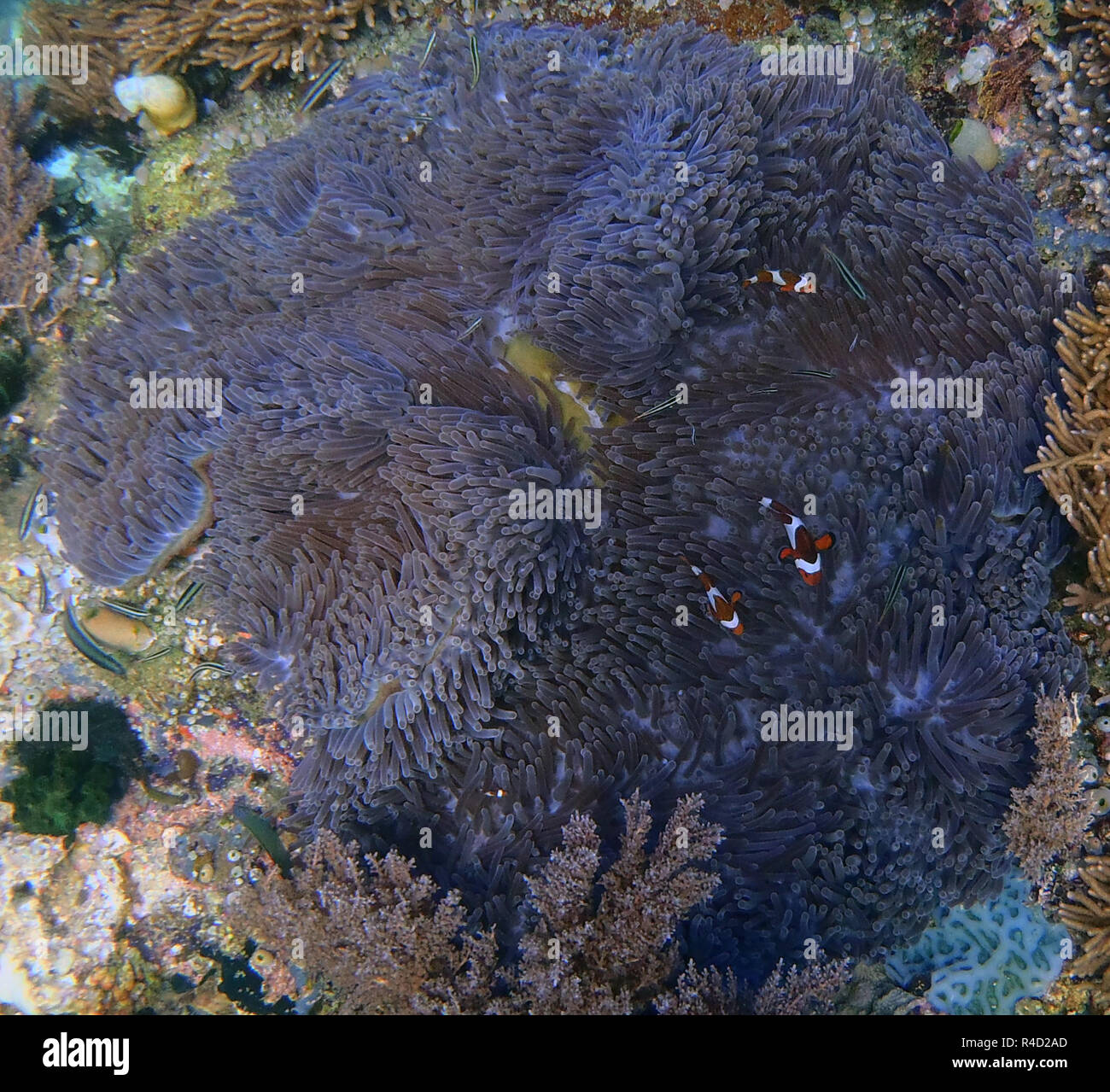 clownfish in anemone - Stock Image