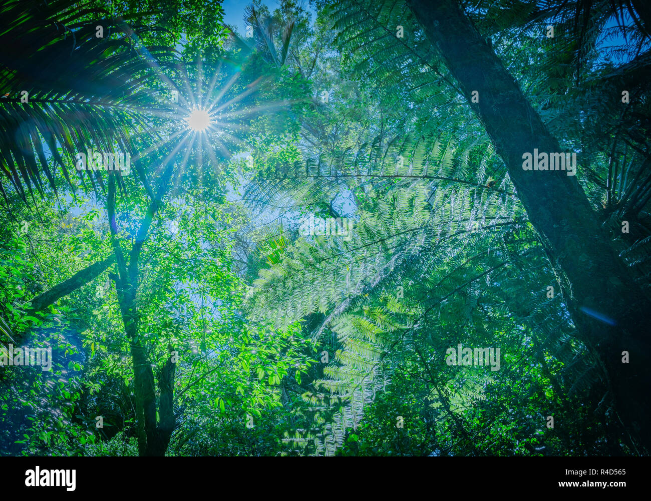 Retro effect blue tinge with lens flare through overhead branches and silhouette fern fronds along The Grove native bush walk near Pohara South Island - Stock Image