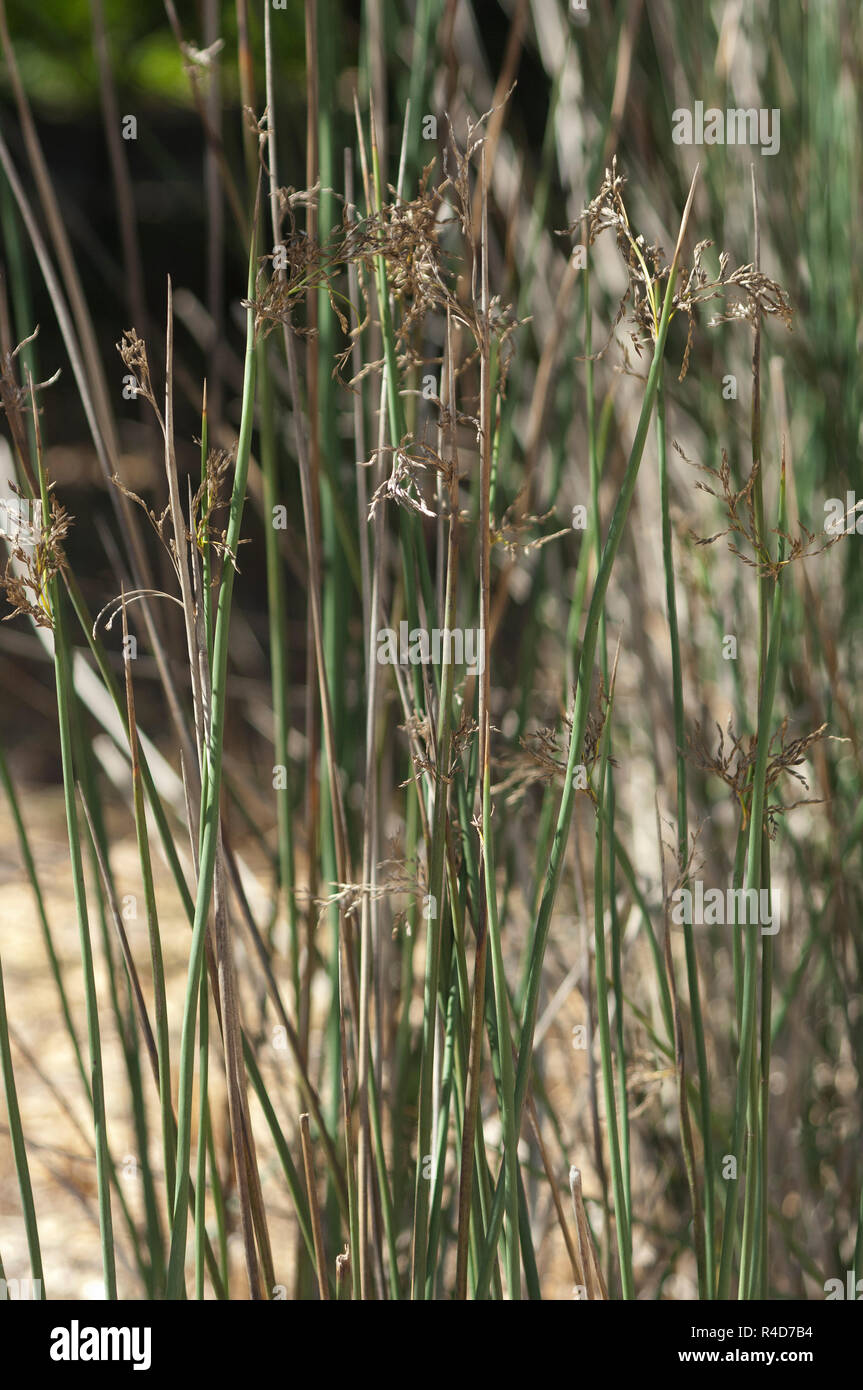 Giant juncus, a rush used by the Chumash in basketry, California. Digital photograph Stock Photo