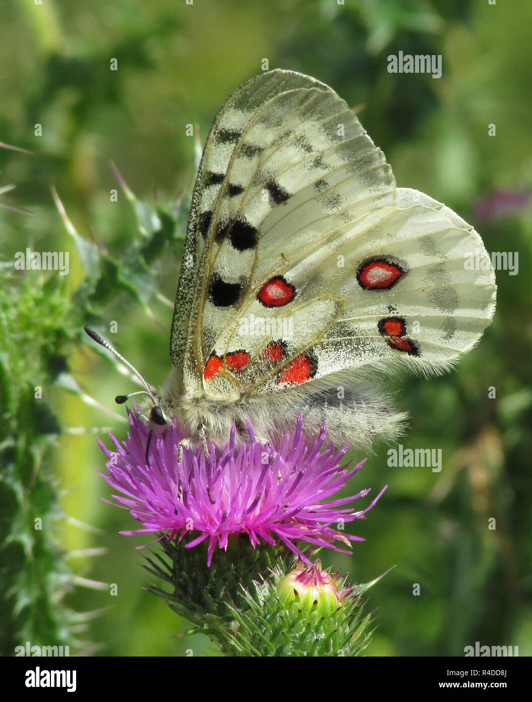 apollo butterfly in altmühltal,bottom,on purple thistle bloom Stock Photo