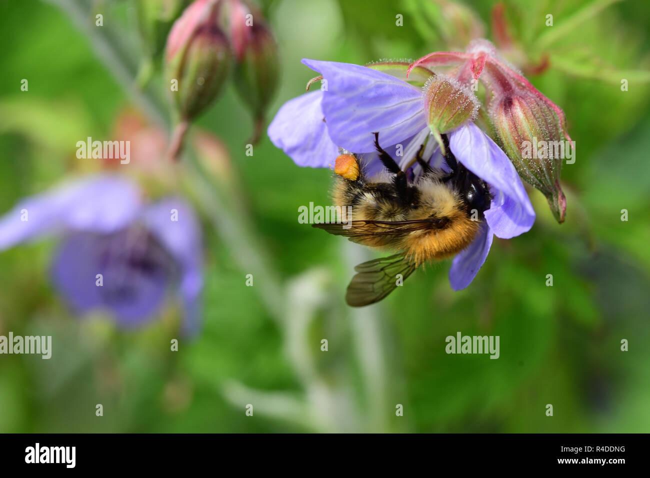 Macro shot of a bee polliating a geranium flower - Stock Image