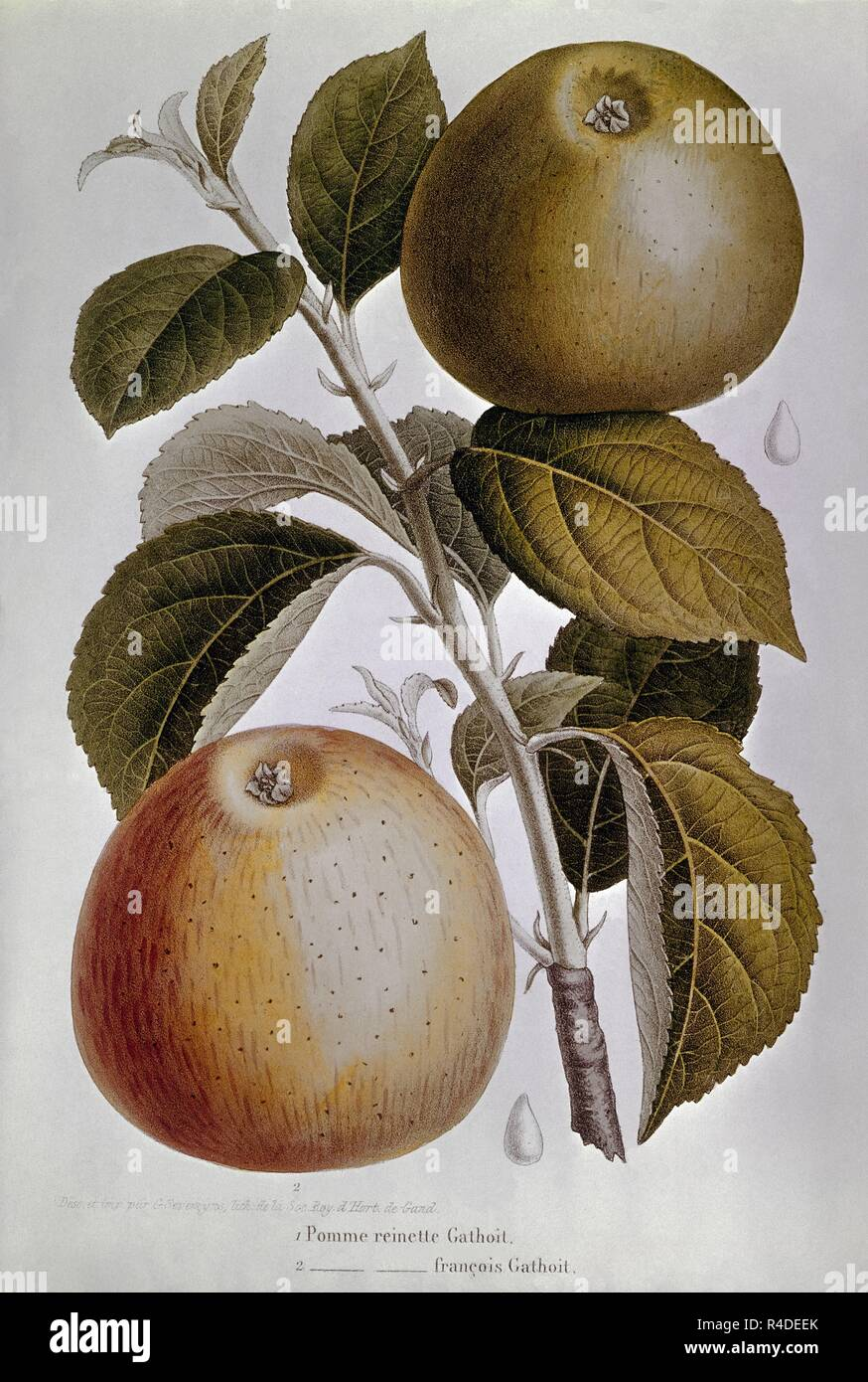 LAMINA-MANZANAS REINETA. Location: PRIVATE COLLECTION. MADRID. SPAIN. - Stock Image