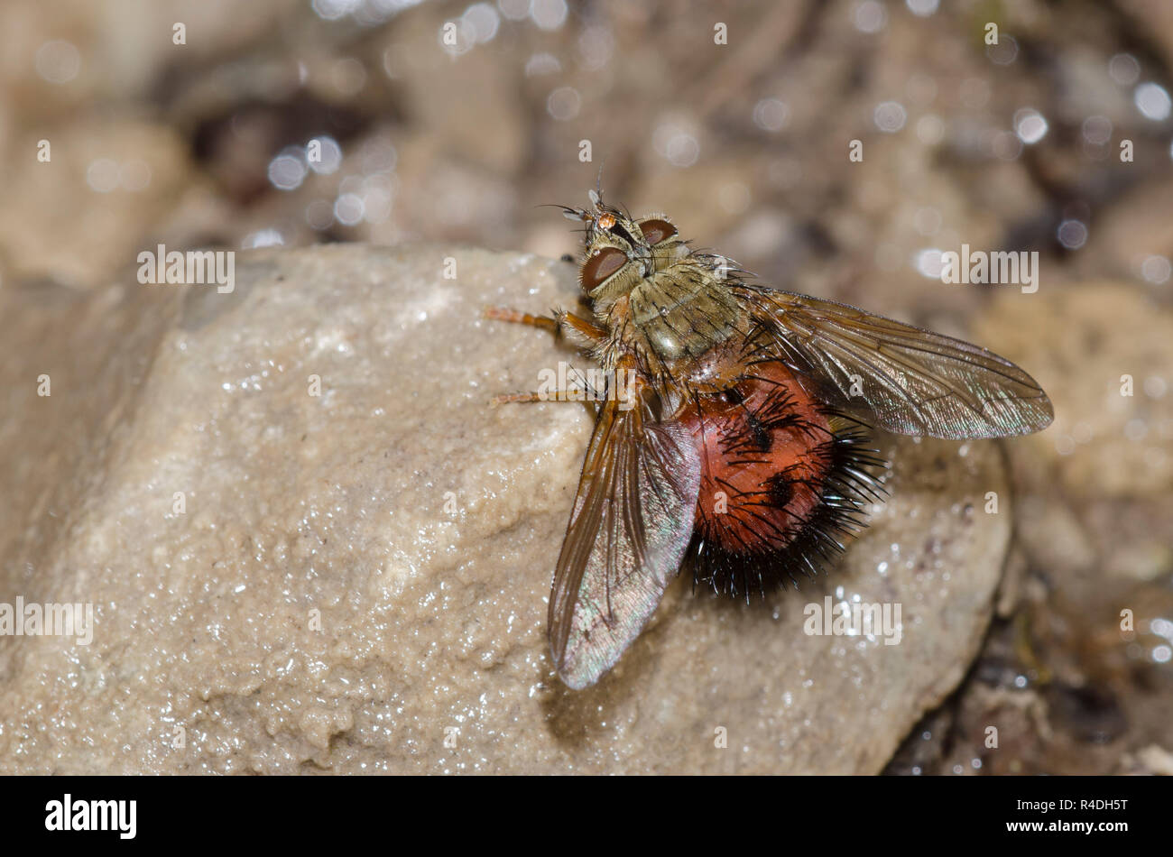 Tachinid Fly, Hystricia abrupta Stock Photo
