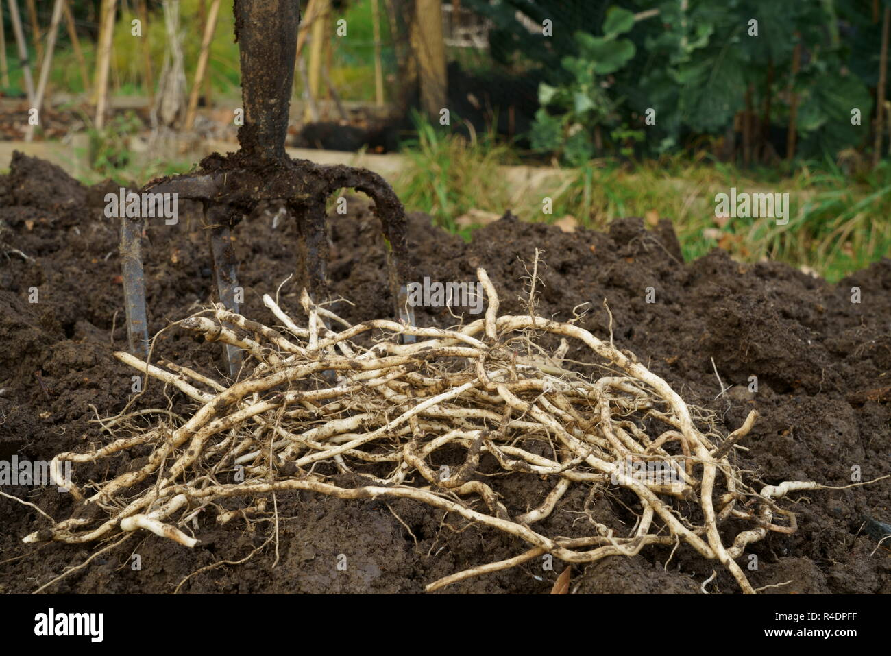 Bindweed roots (rhizomes) dug from a garden - Stock Image