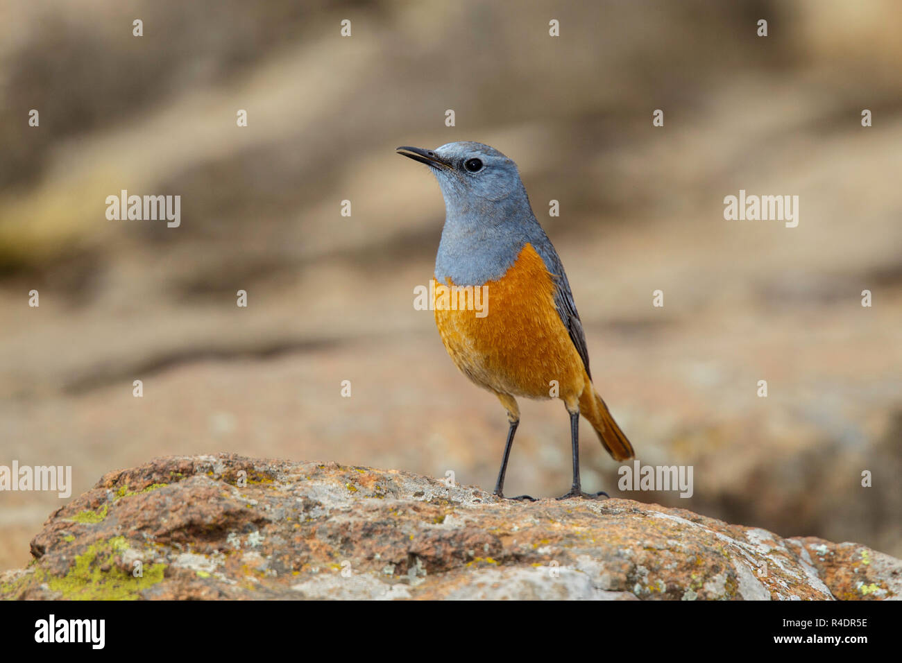 Chat Thrush Stock Photos & Chat Thrush Stock Images - Alamy