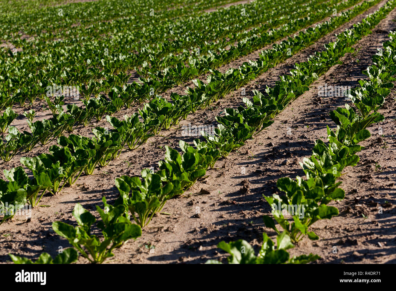 agricultural field with beetroot - Stock Image
