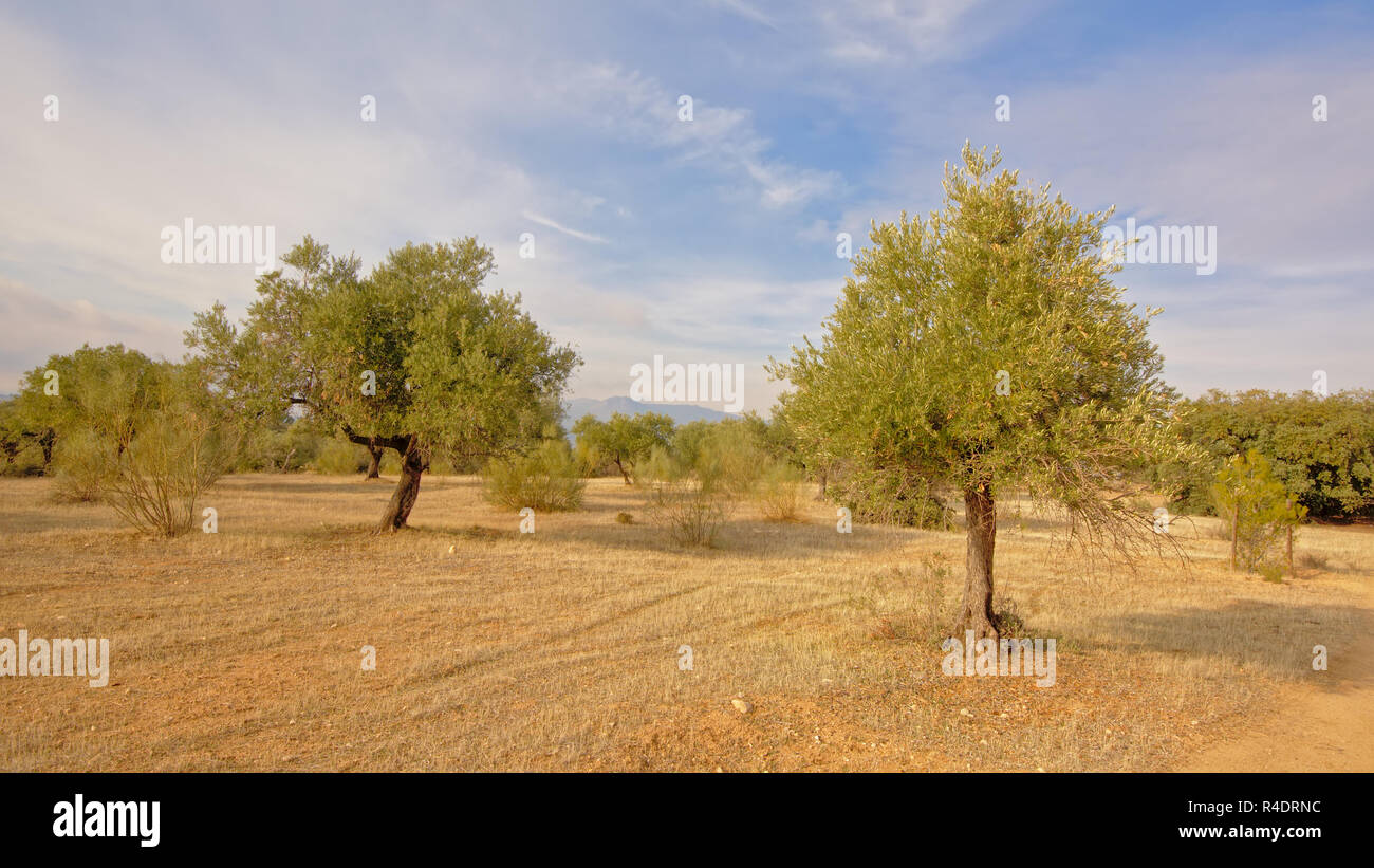 Olive trees in an orchard in Sierra Nevada mountains, on a sunny day, Andalusia, Spain - Olea europaea,Oleaceae, - Stock Image