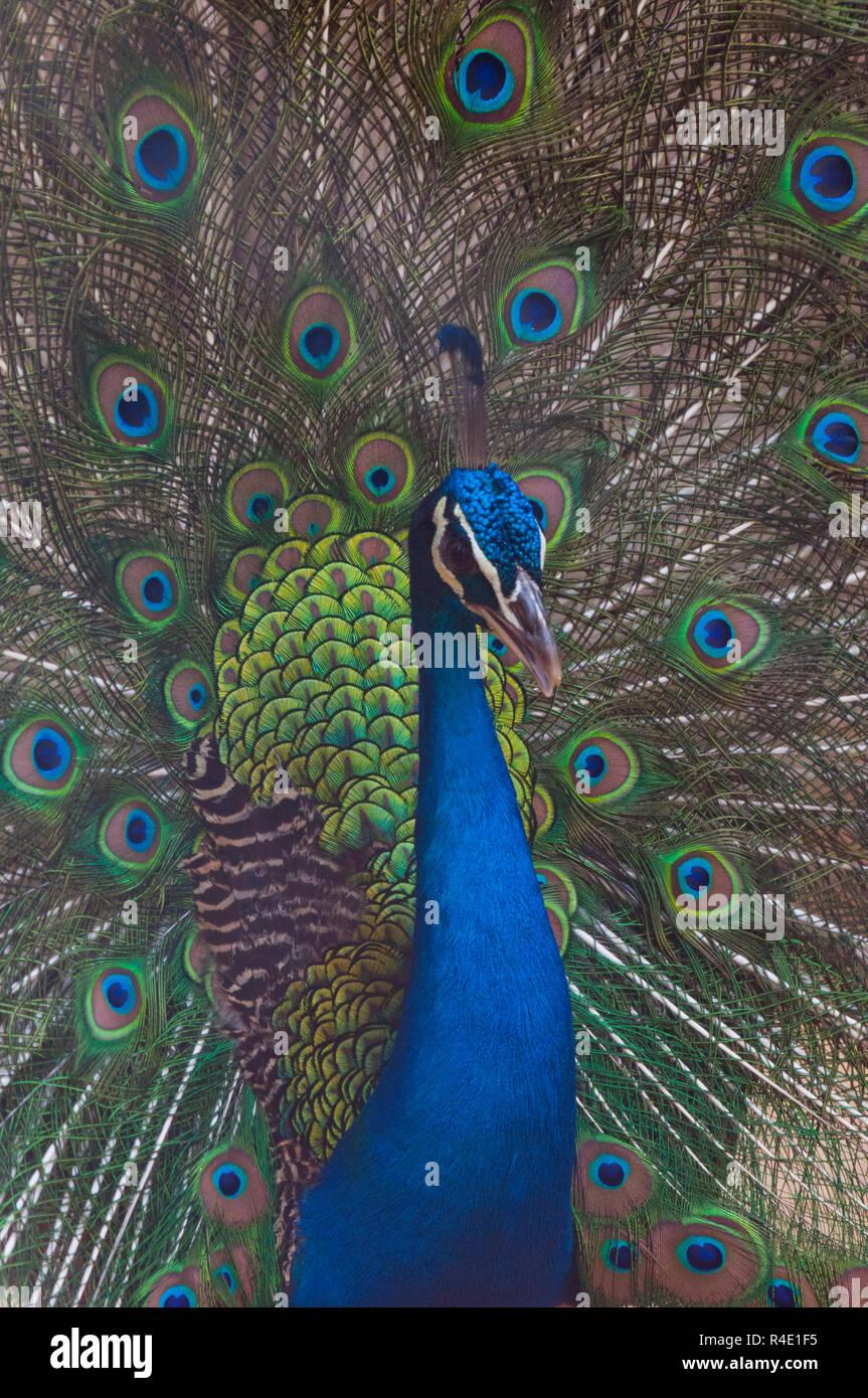 Close-up of a peacock at Dhaka Zoo. Dhaka, Bangladesh. - Stock Image