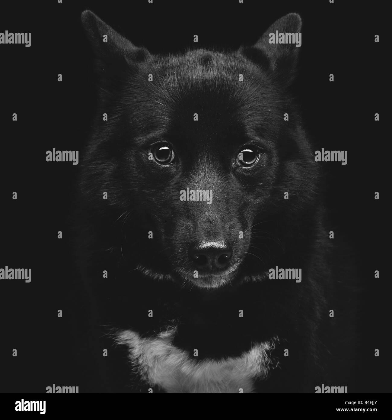 Black eskimo dog - Stock Image