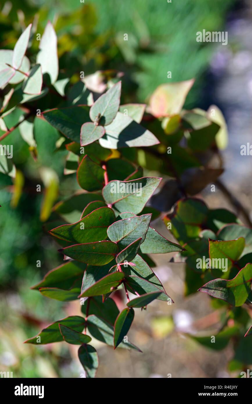 eucalyptus sturgissiana,steel box,leaves,foliage,tree,trees,RM Floral - Stock Image
