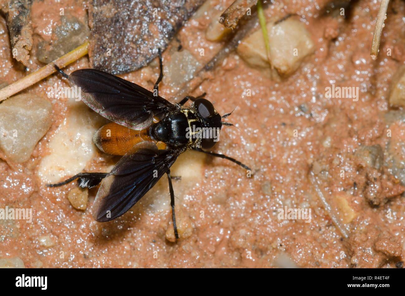 Feather-legged Fly, Trichopoda sp. Stock Photo