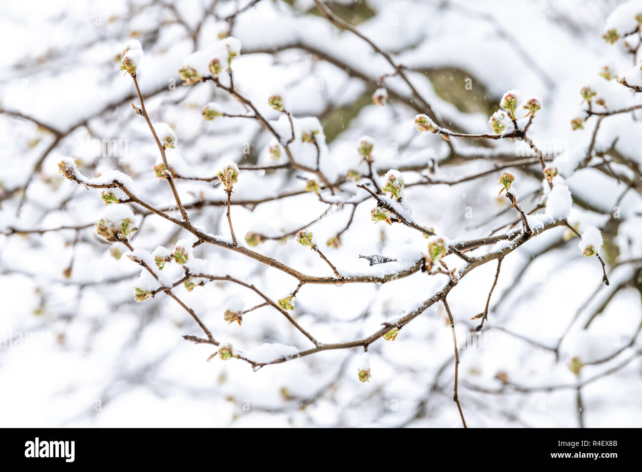 Closeup of sakura, cherry blossom tree buds on branches in spring, springtime covered in snow at snowstorm, storm, snowing, falling snowflakes against - Stock Image