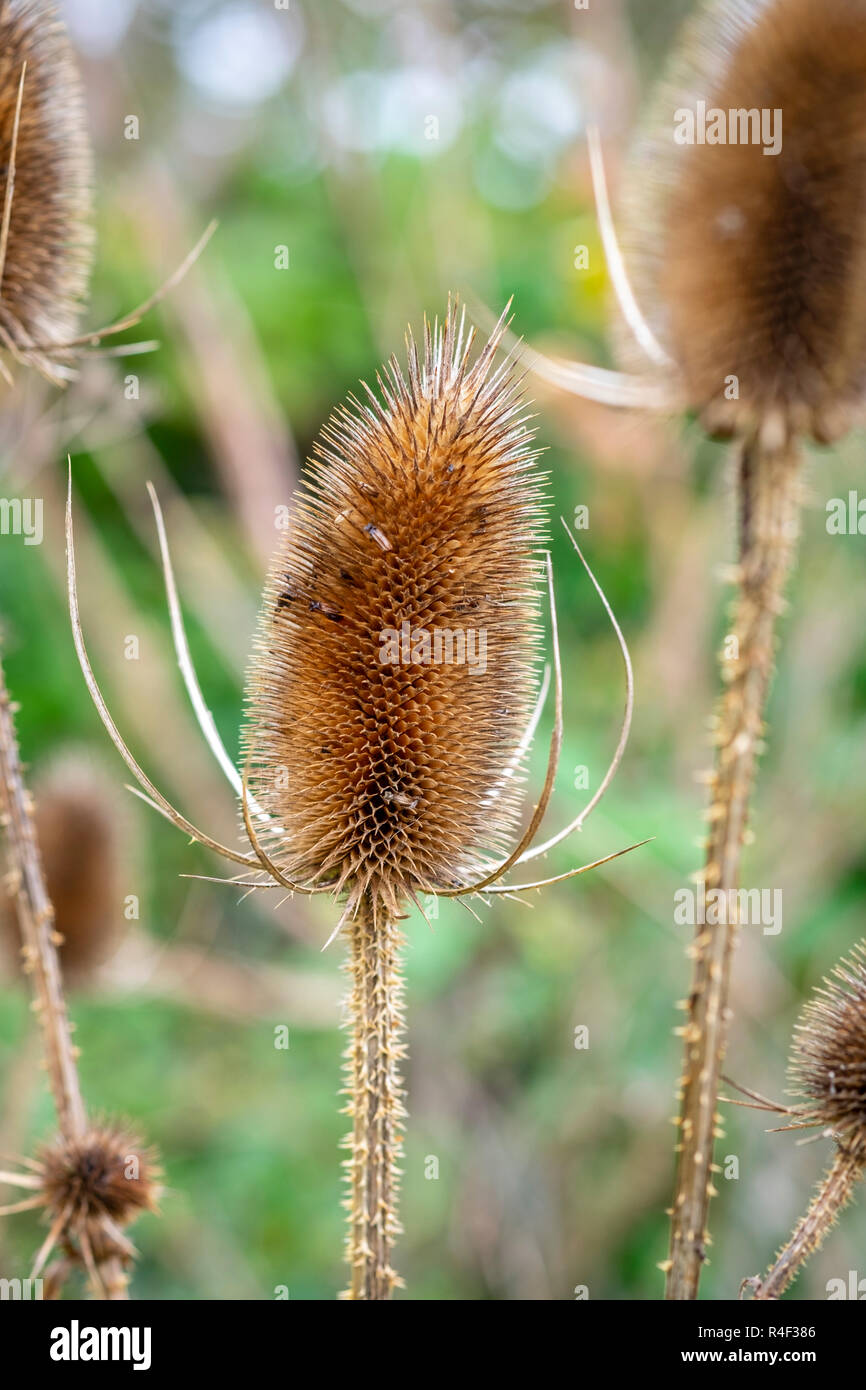 Teasel, Dipsacus fullonum, seed head in winter - Stock Image