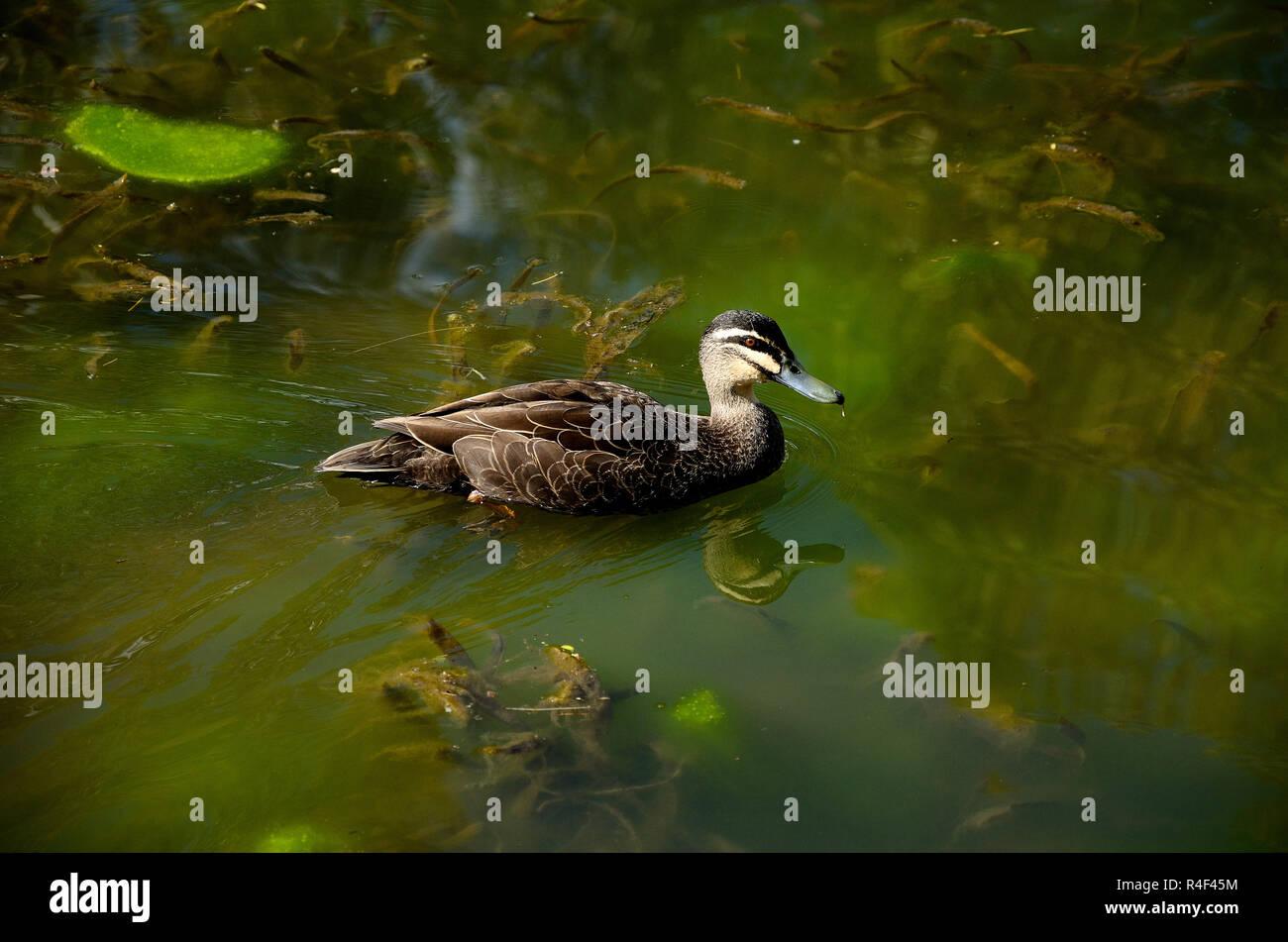 Duck calming swimming in a green pond in Dubbo, Australia Stock Photo